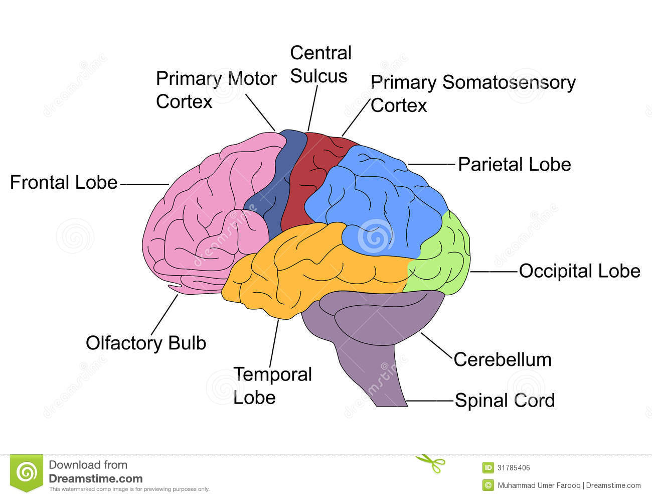 frontal brain diagram no labels bpt door entry wiring parts of stock vector image labelled colored