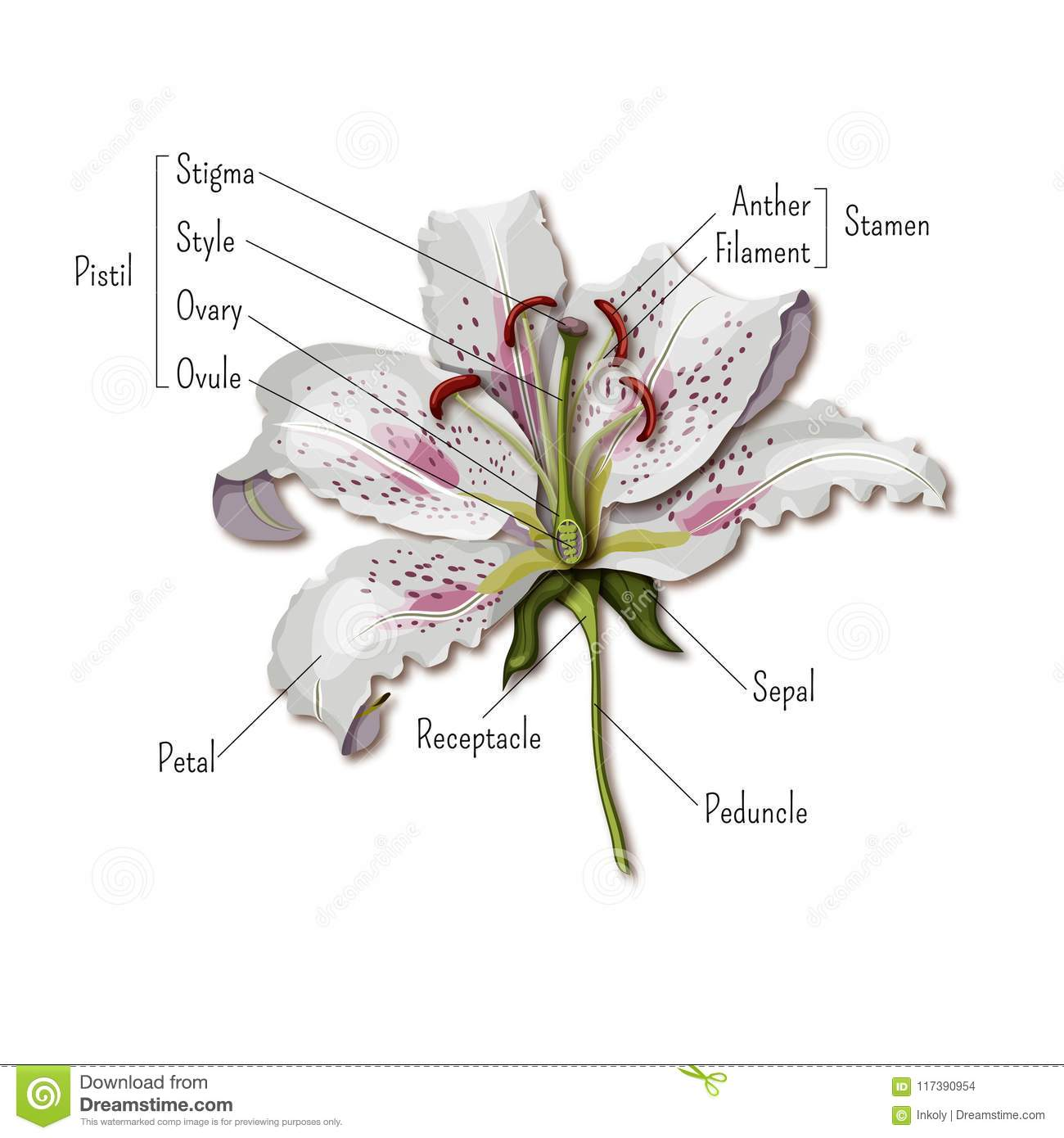 parts of a flower diagram inside worm the infographics lily anatomy science for kids
