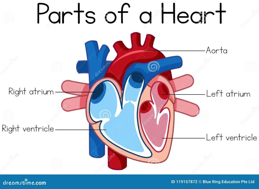 medium resolution of parts of heart diagram