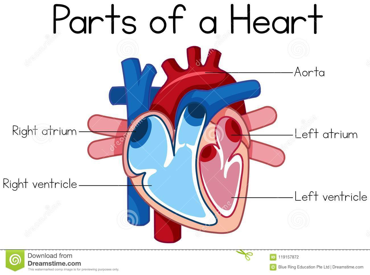 hight resolution of parts of heart diagram