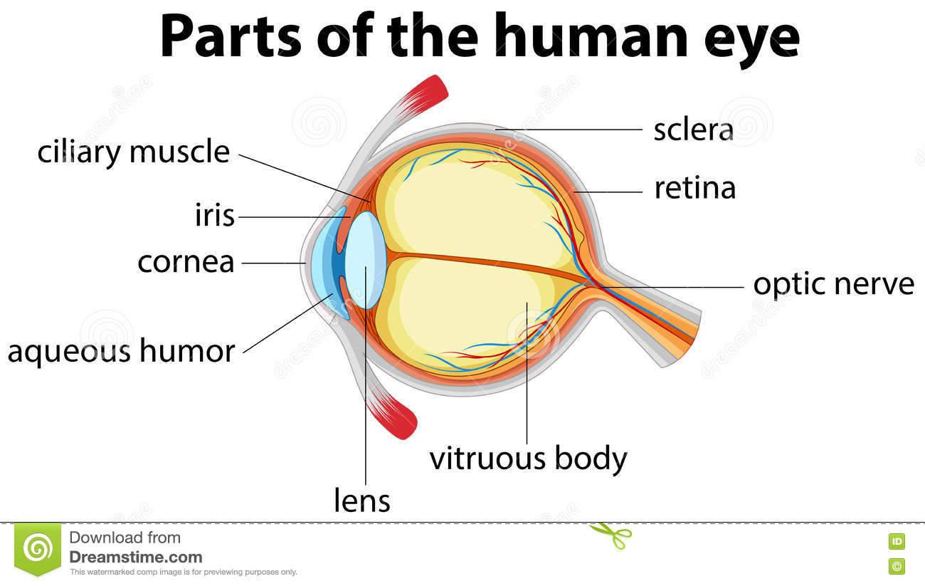 Parts Of Human Eye With Name Stock Vector
