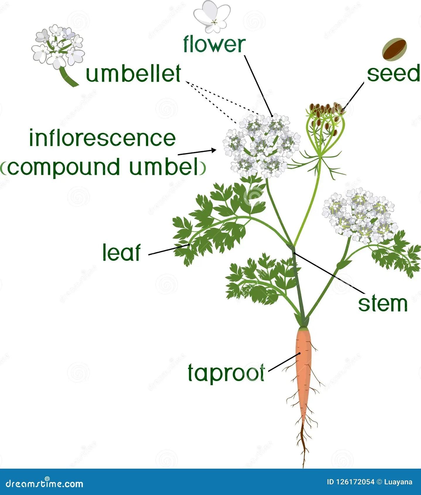 morphology tree diagram winnebago wiring diagrams taproot cartoons illustrations and vector stock images