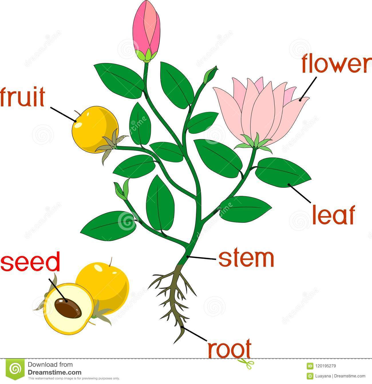 Parts Of Plant Morphology Of Flowering Plant With Root