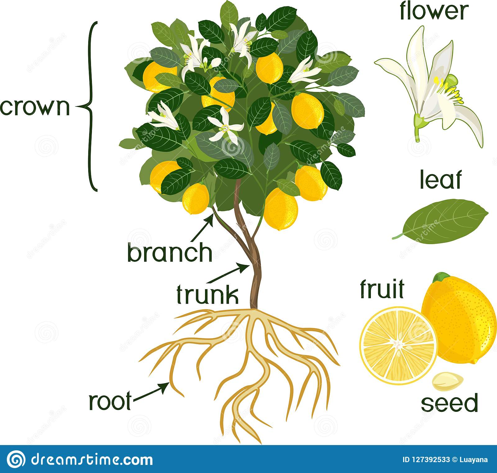 Parts Of Plant Morphology Of Lemon Tree With Fruits