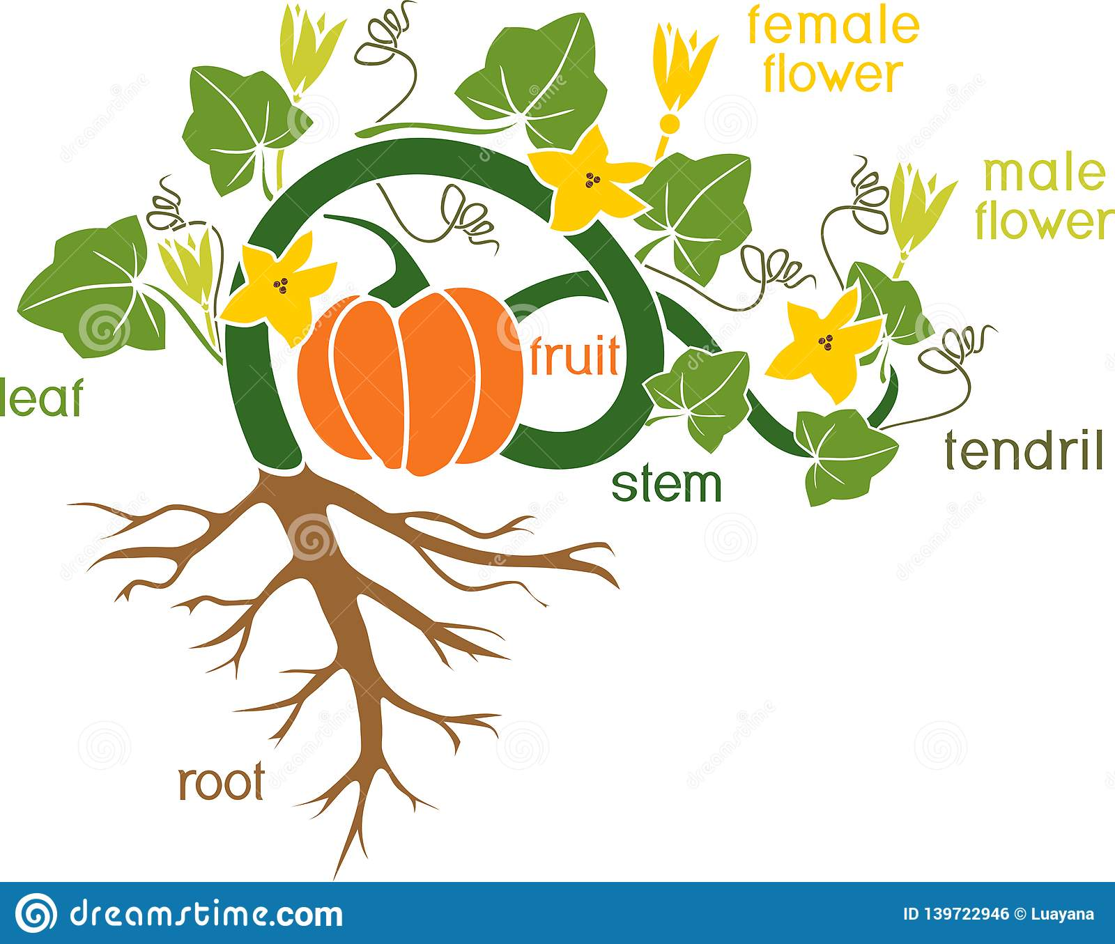 Parts Of Plant Morphology Of Pumpkin Plant With Fruit