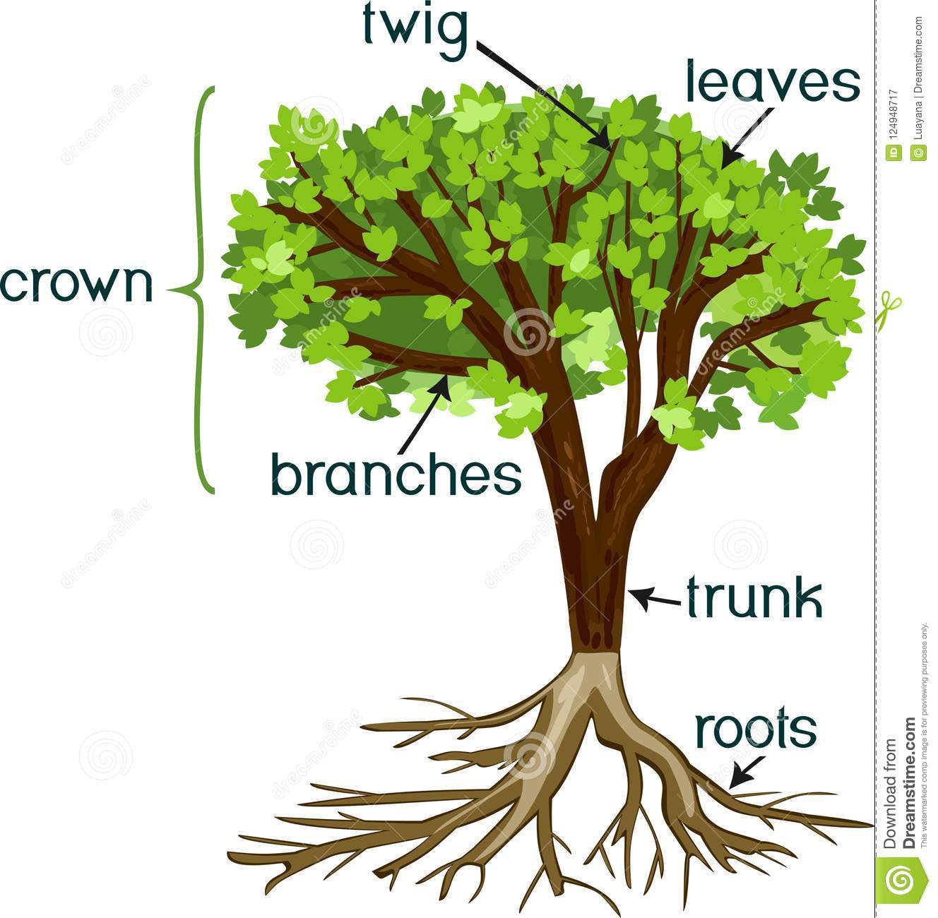 Parts Of Plant Morphology Of Tree With Green Crown Root