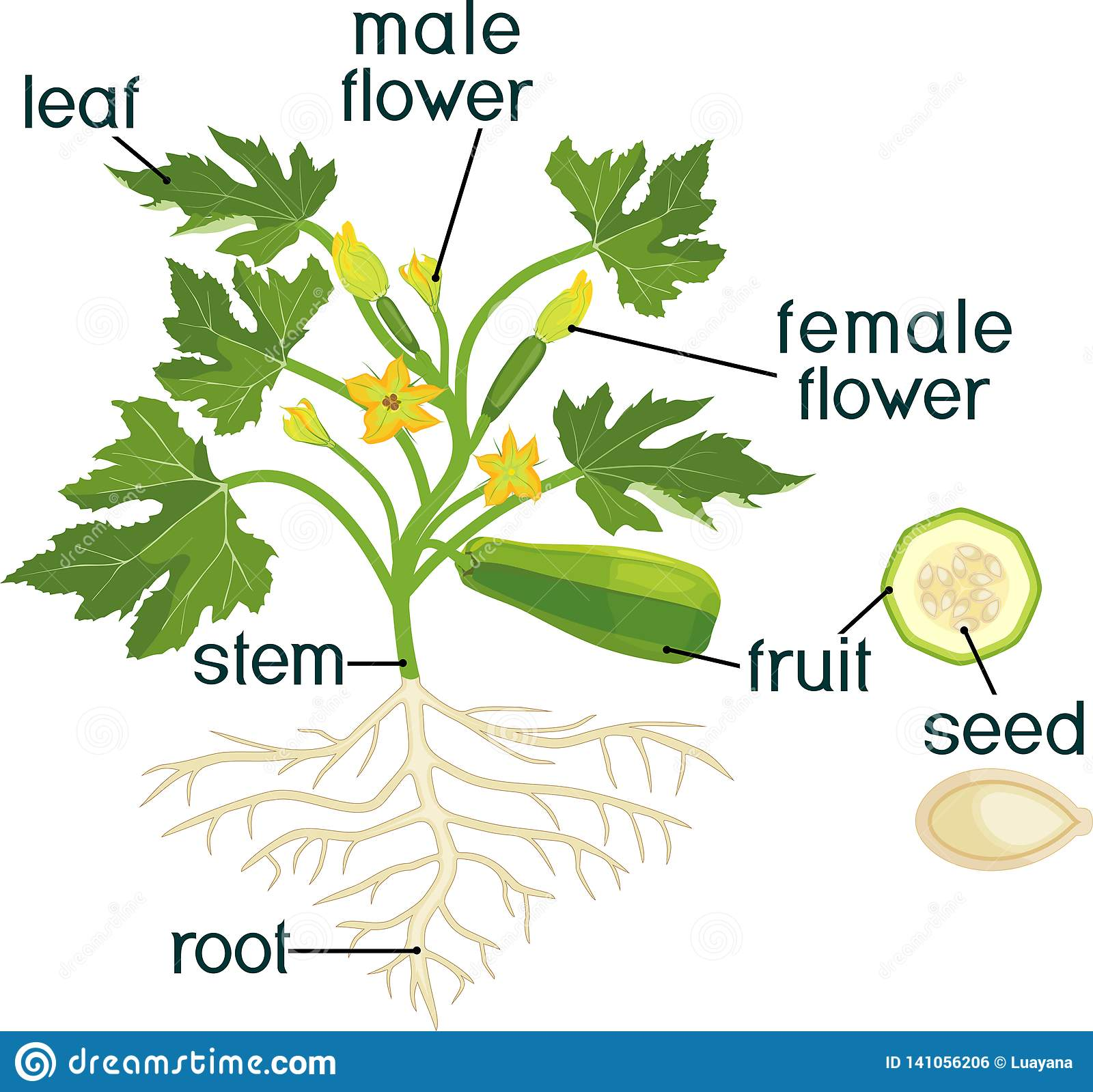 Parts Of Plant Morphology Of Zucchini Plant With Fruit