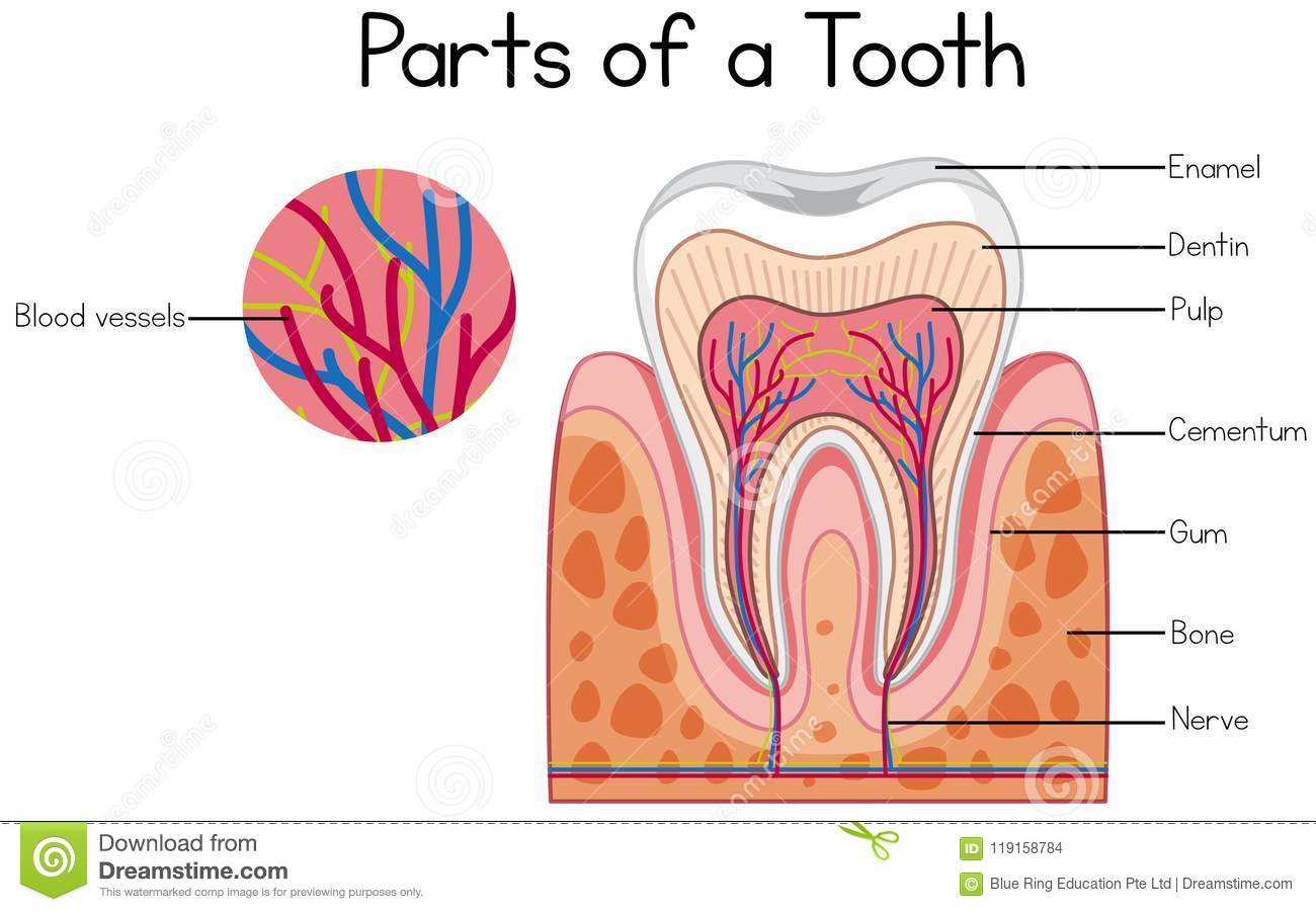 hight resolution of parts of a tooth diagram