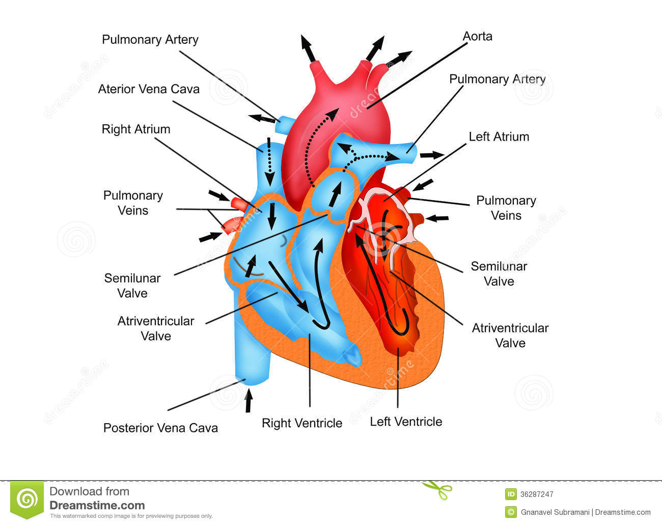Pathway Of Blood Flow Through The Heart Royalty Free Stock