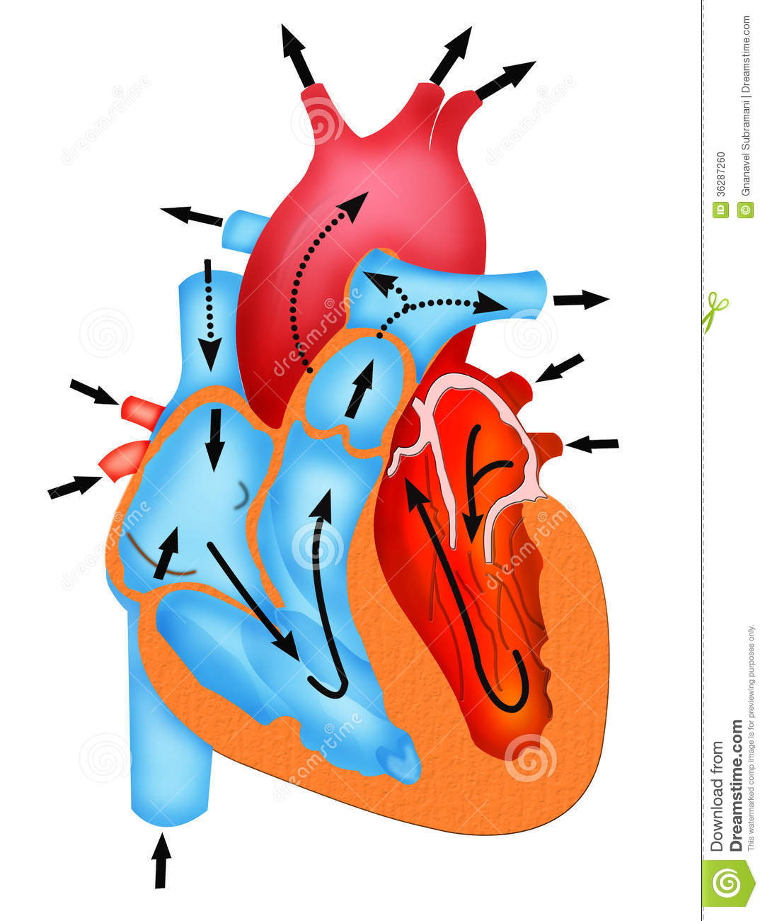 Pathway Of Blood Flow Through The Heart Stock Illustration