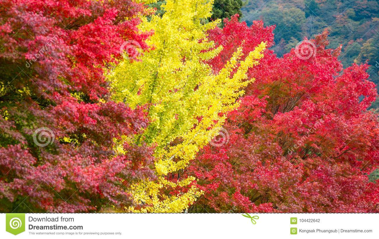 Pattern Of Yellow Ginkgo Leaf Tree And Red Maple Tree As