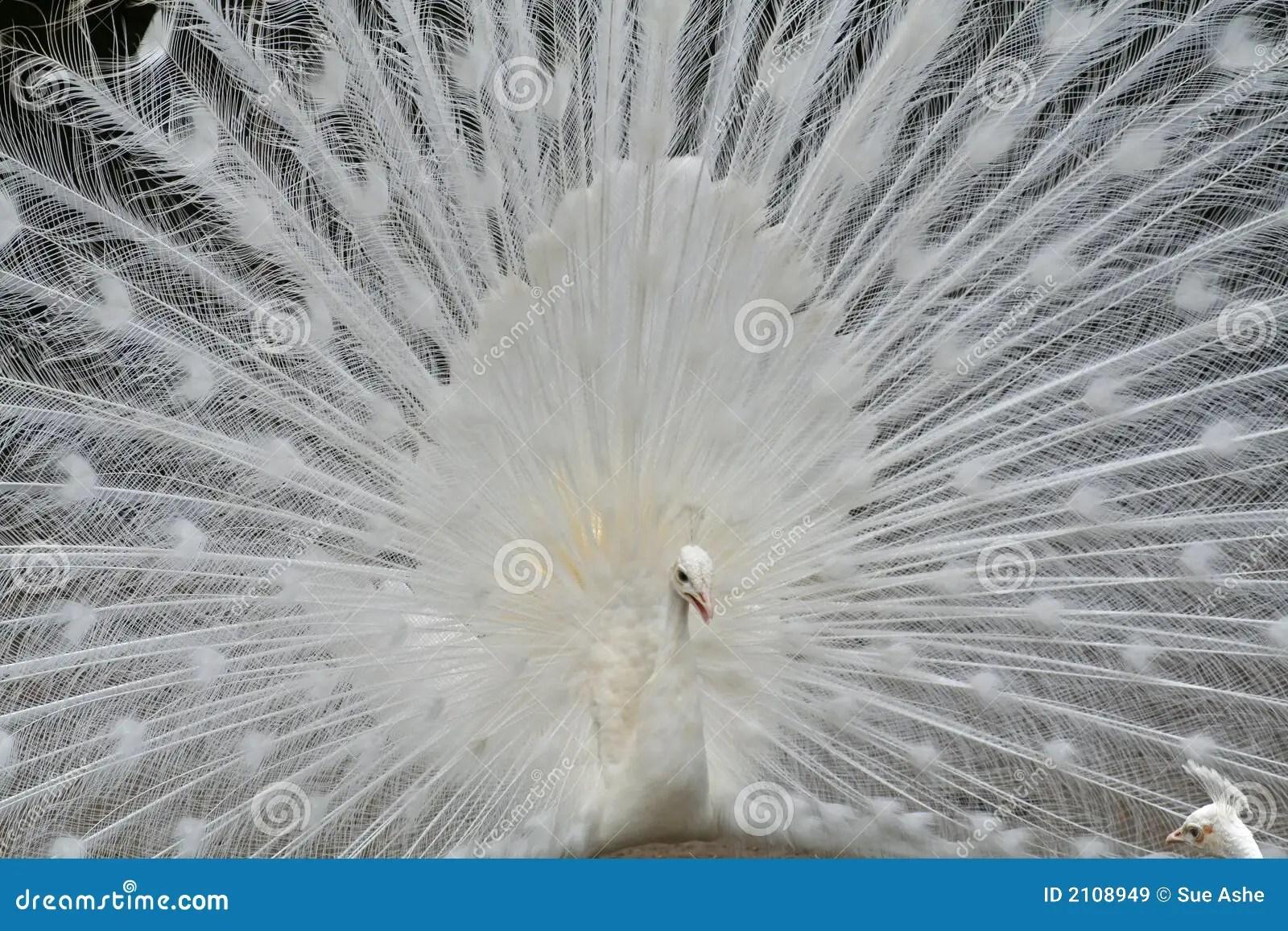 Pavone bianco immagine stock Immagine di albino bianco