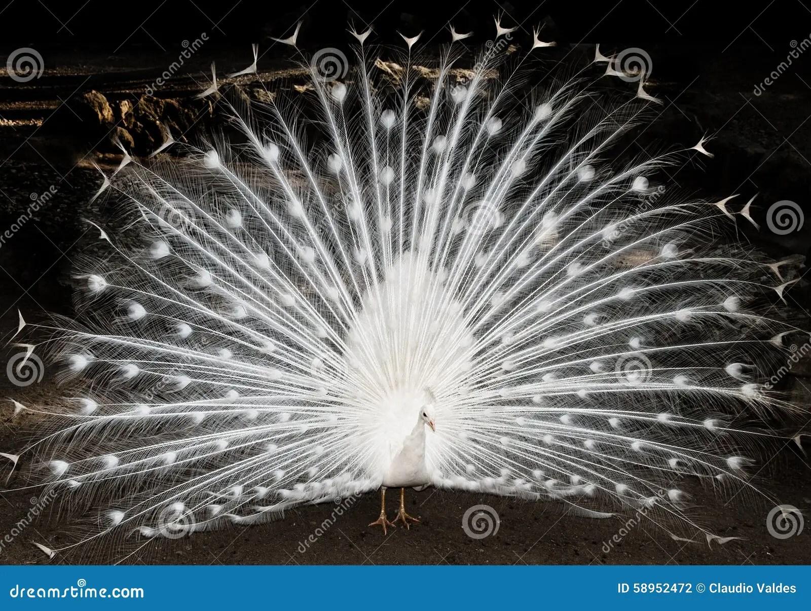 Pavone bianco fotografia stock Immagine di bellezza
