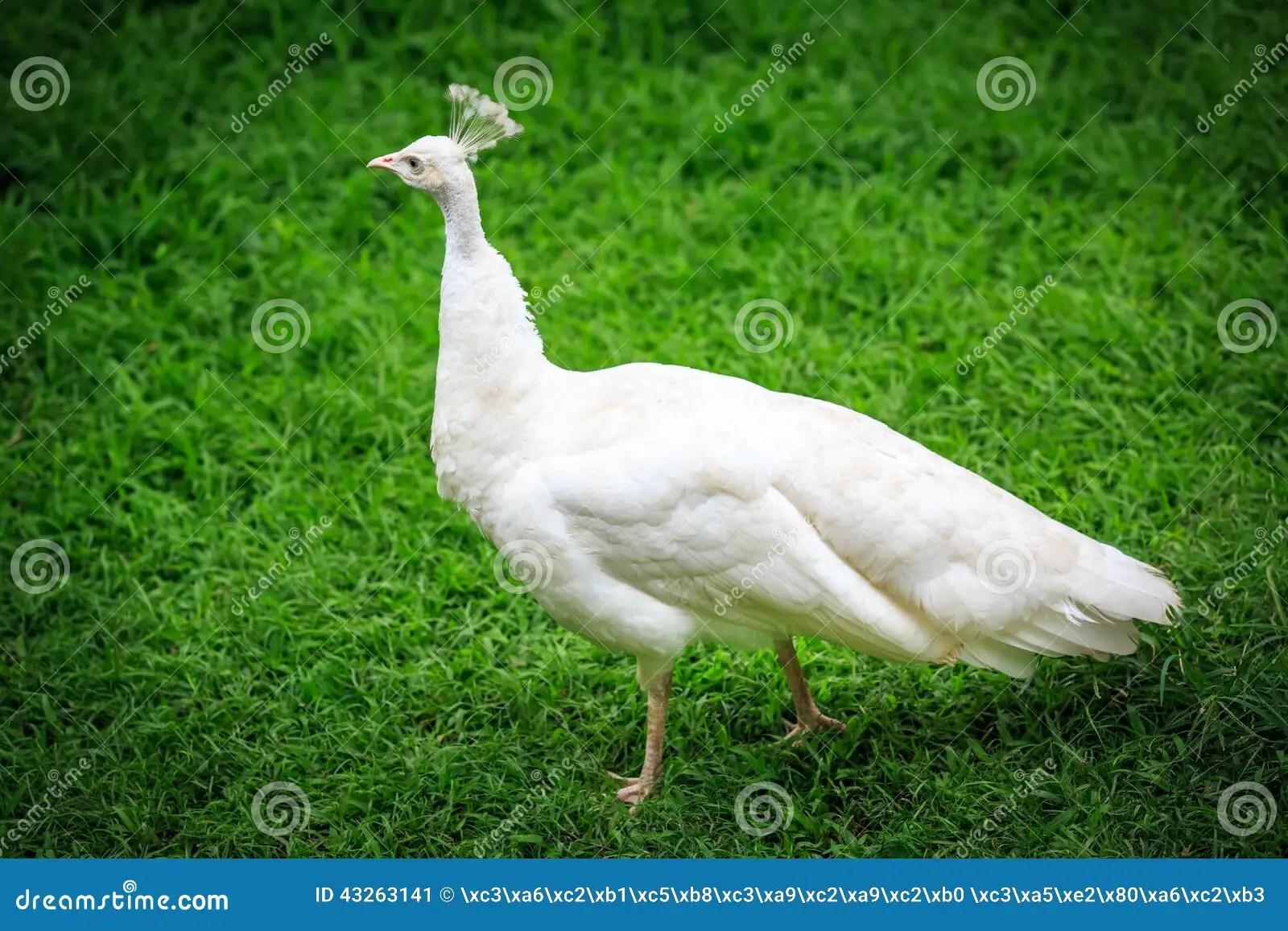 Pavone bianco su erba immagine stock Immagine di uccello