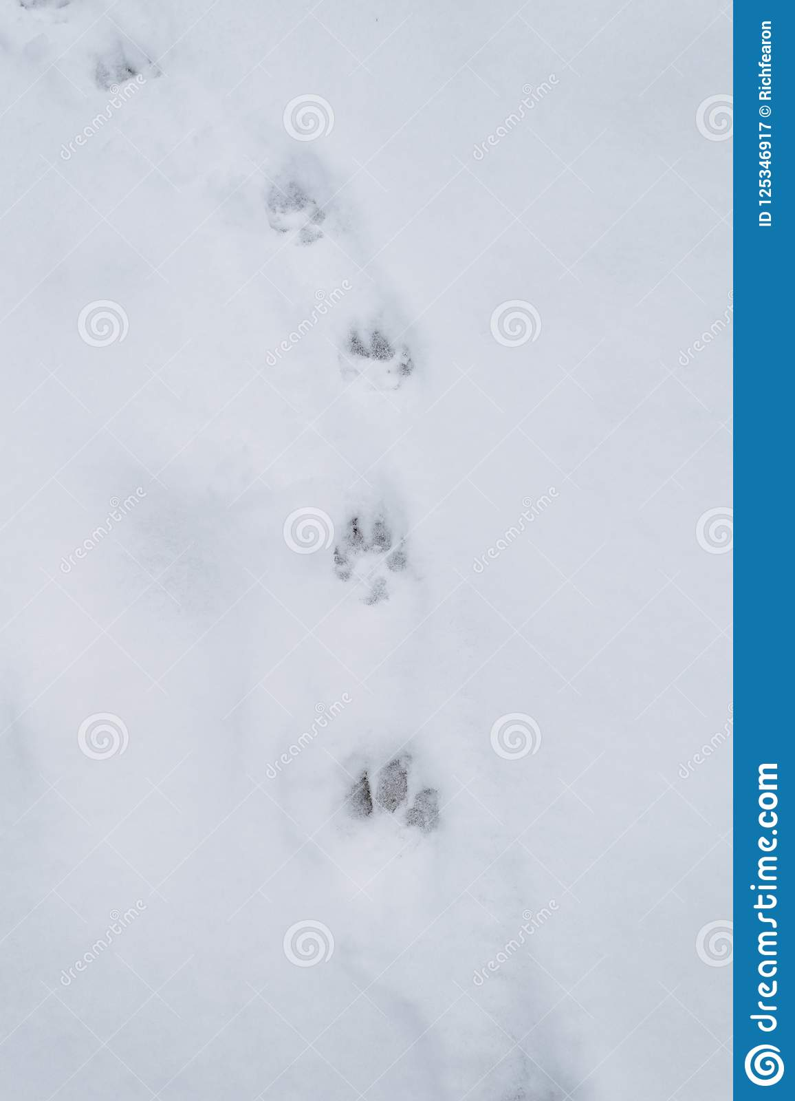 Paw Prints In The Snow Animal Tracks Winter Stock Image