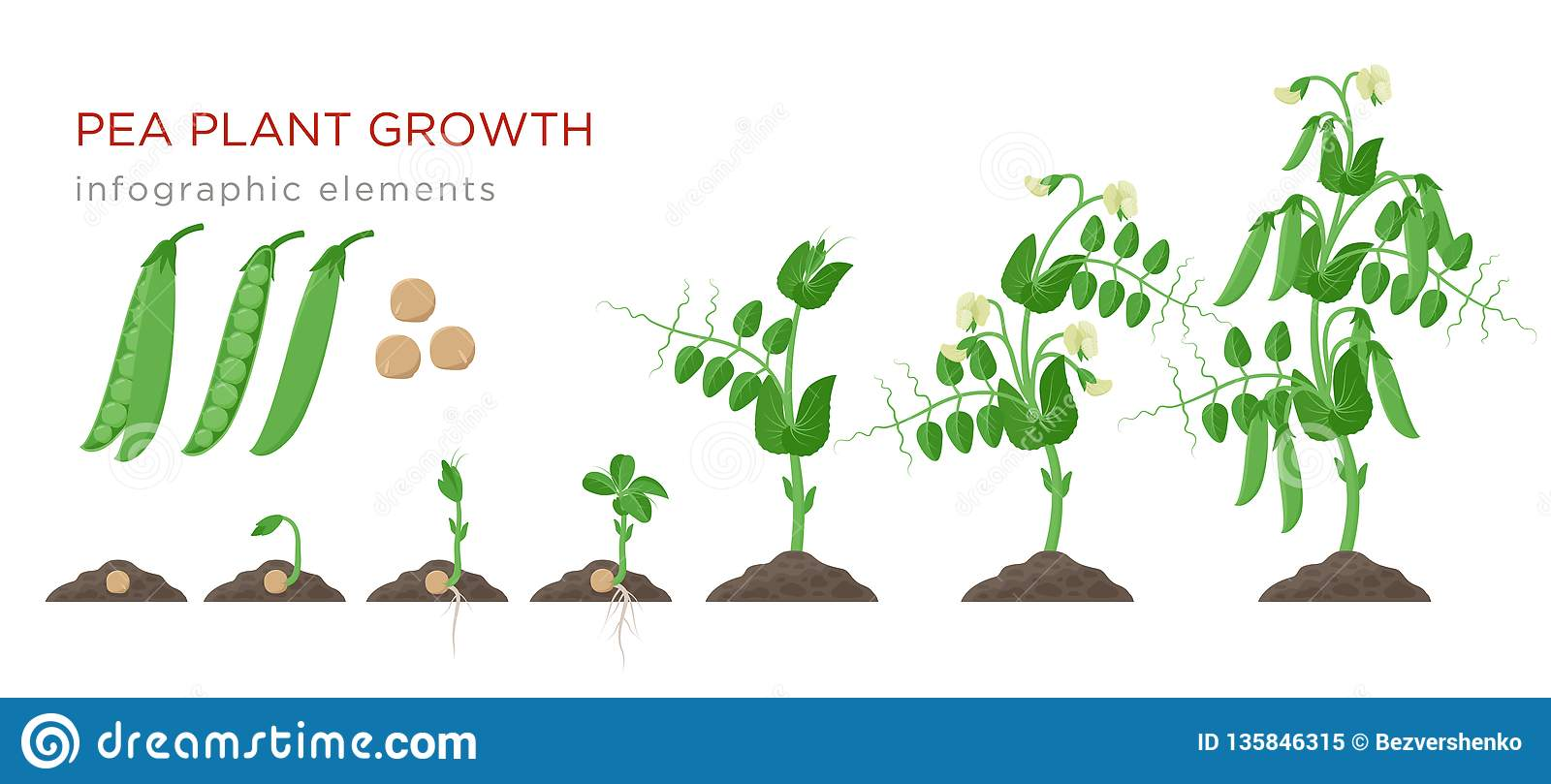 Pea Plant Growth Stages Infographic Elements In Flat