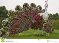 Peacock At Miracle Garden In Dubai Stock Image - Image of ...