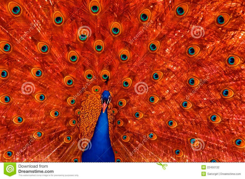 medium resolution of peacock with red feather display