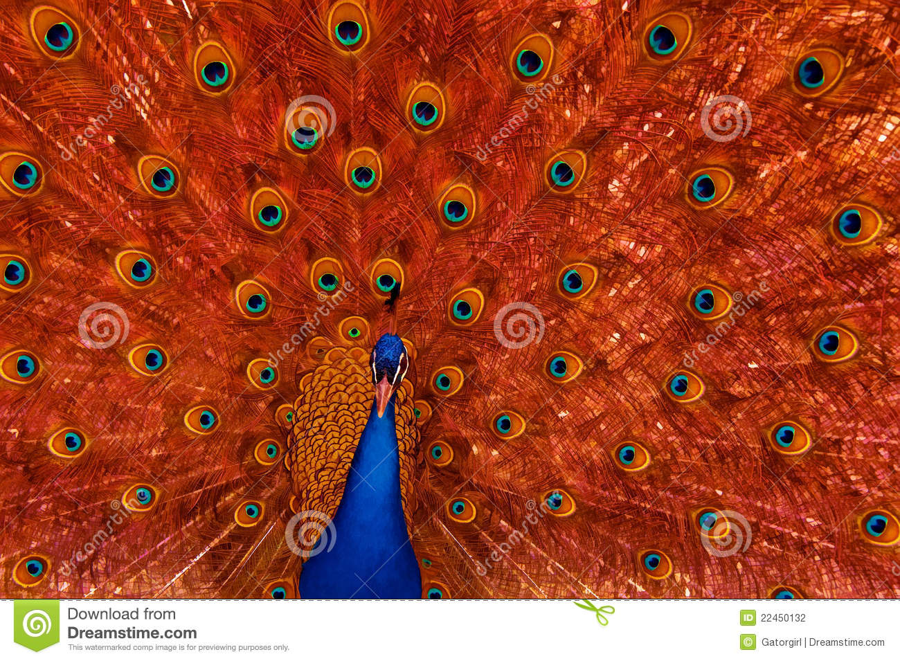 hight resolution of peacock with red feather display