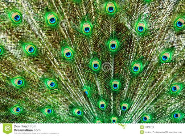 Green Peacock Tail Feathers