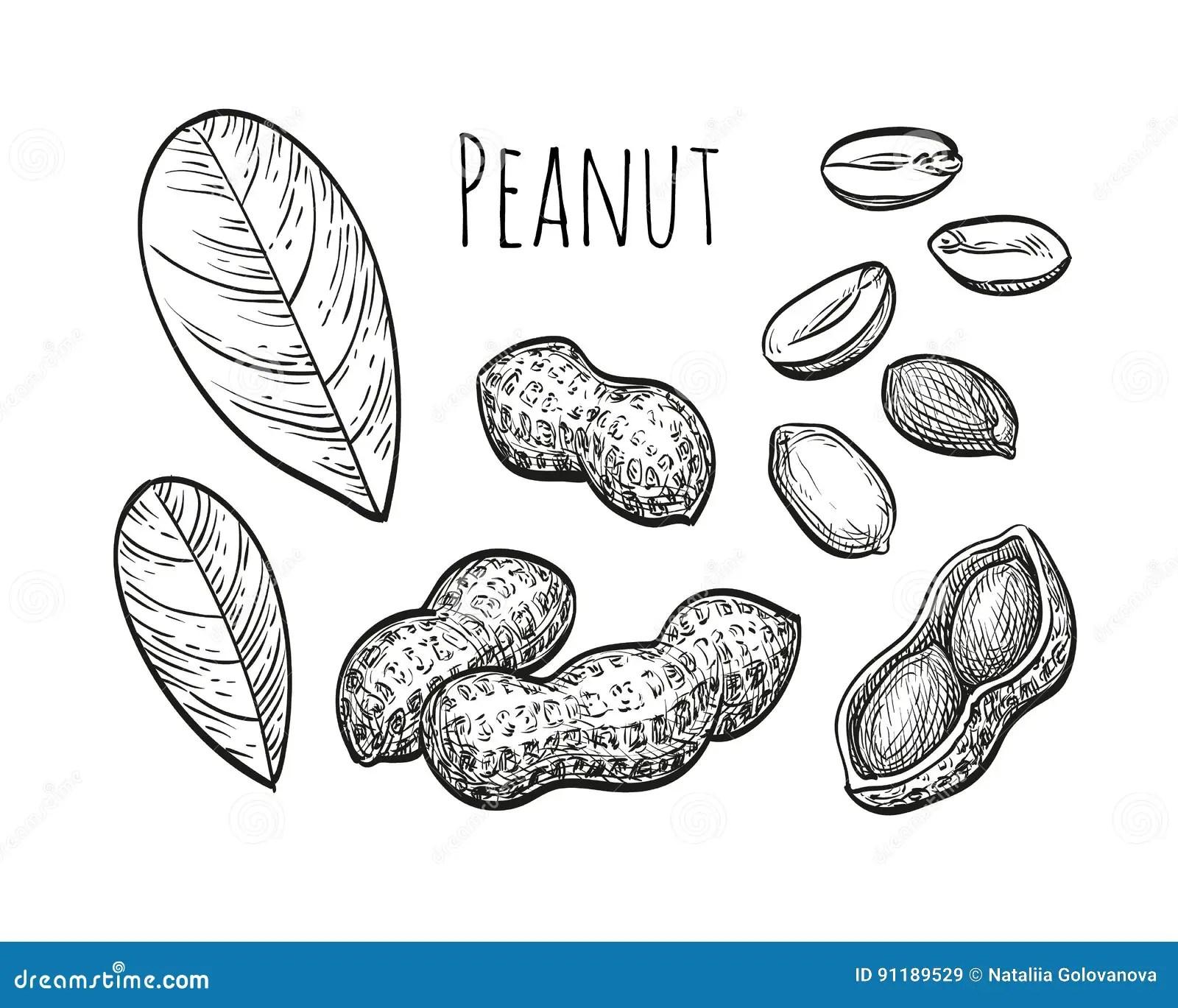 Peanut Cartoons Illustrations Amp Vector Stock Images
