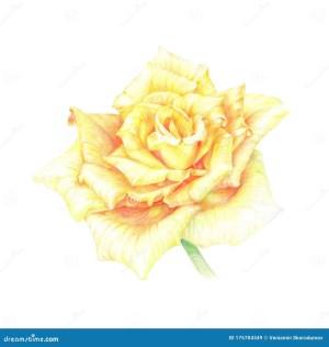 rose yellow pencil drawing bud