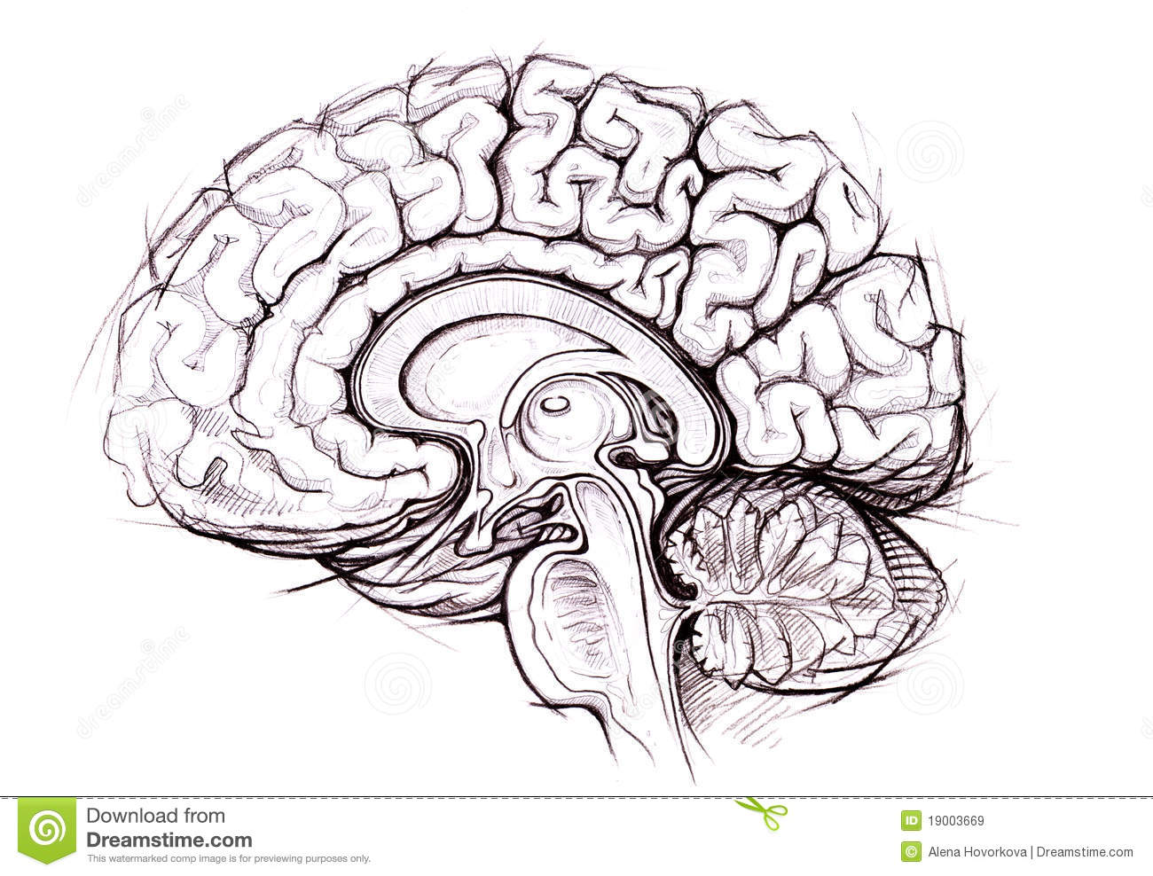 right lateral brain diagram smart car headlight wiring pencil skethy study of human royalty free stock
