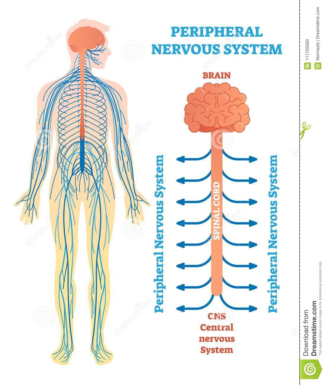 spinal cord and nerves diagram ezgo golf cart wiring gas peripheral stock illustrations 3 540