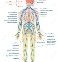 peripheral nervous system medical vector illustration diagram with full body nerve scheme  [ 952 x 1300 Pixel ]
