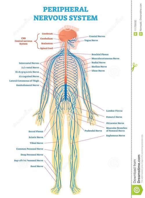small resolution of peripheral nervous system medical vector illustration diagram with full body nerve scheme