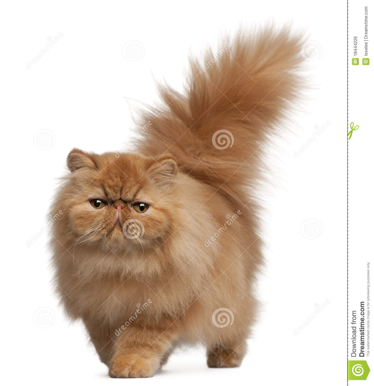 Persian Kitten 6 Months Old Royalty Free Stock Image