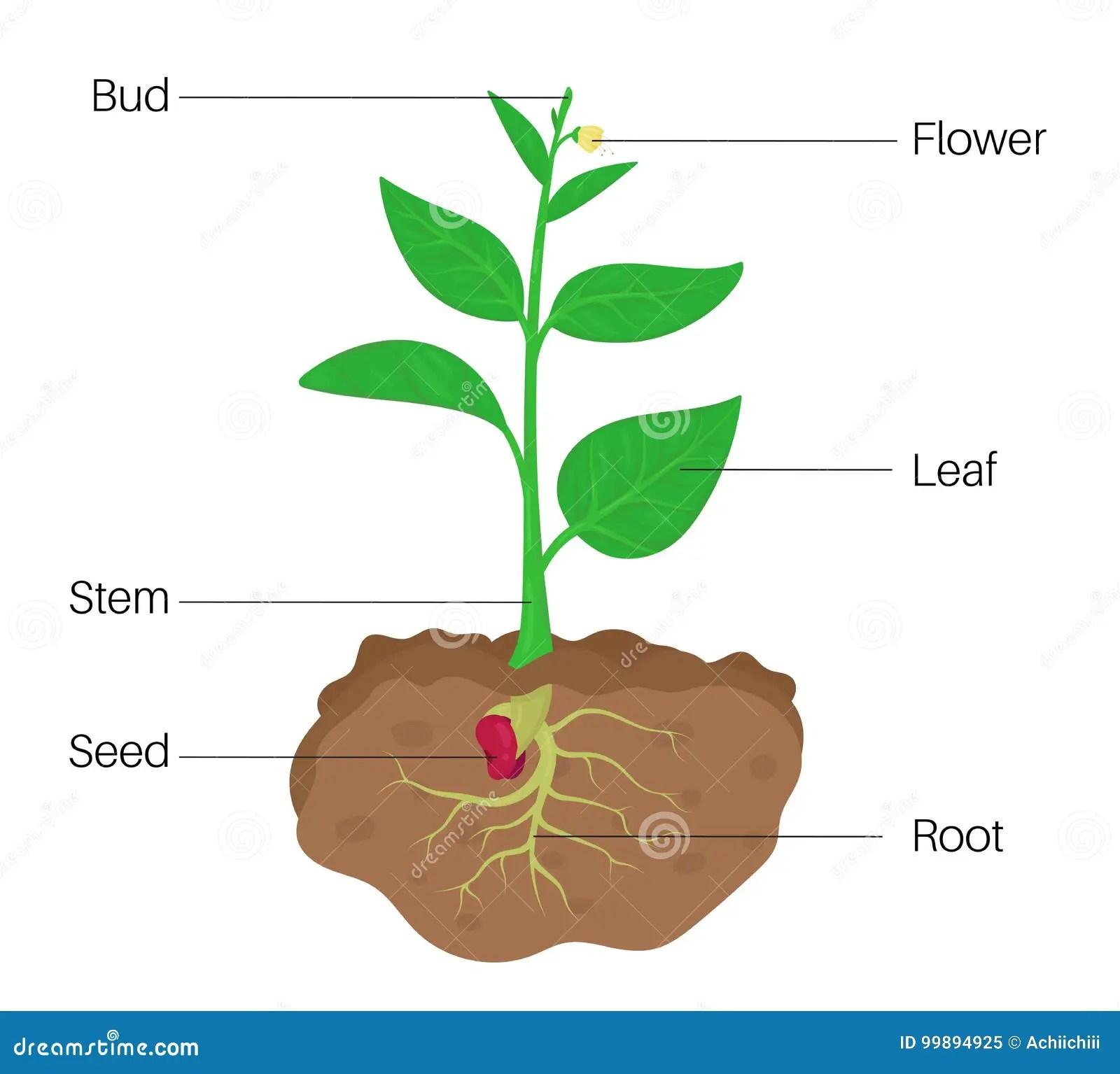 Pflanzenteile Diagramm Vektor Abbildung Illustration Von