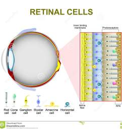photoreceptor cells in the retina of the eye retinal cells rod cell and cone cell the arrangement of retinal cells is shown in a cross section [ 1300 x 1314 Pixel ]