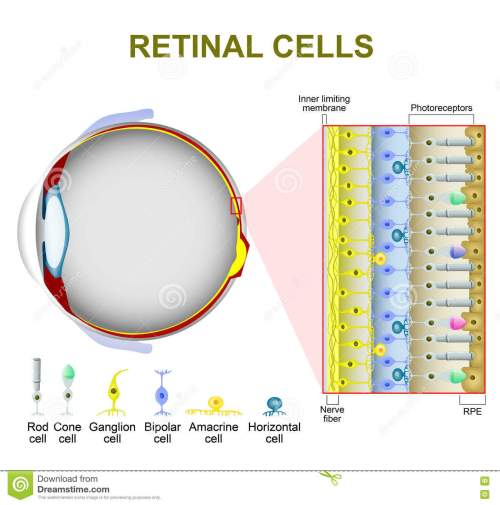 small resolution of photoreceptor cells in the retina of the eye retinal cells rod cell and cone cell the arrangement of retinal cells is shown in a cross section