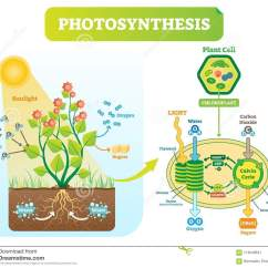 Photosynthesis Z Scheme Diagram Liquid Level Controller Circuit Biological Vector Illustration With