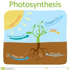 Photosynthesis Z Scheme Diagram 12v Generator Wiring Schematic Of In Plants Vector Illustration