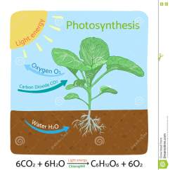 Draw A Diagram Of Photosynthesis 1997 Toyota 4runner Wiring Schematic In Plants Vector Illustration