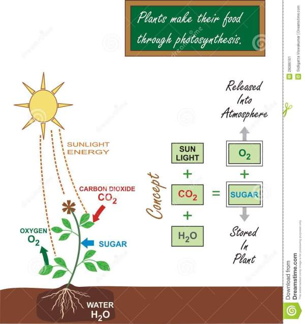 Illustration of Photosynthesis Process