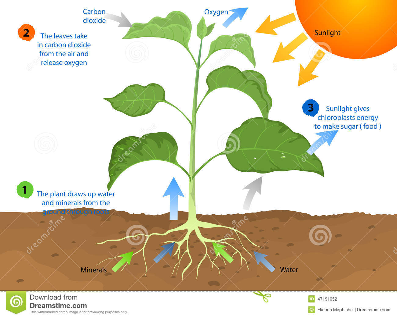 explain the process of nutrition in amoeba with diagram motor control wiring photosynthesis stock illustration