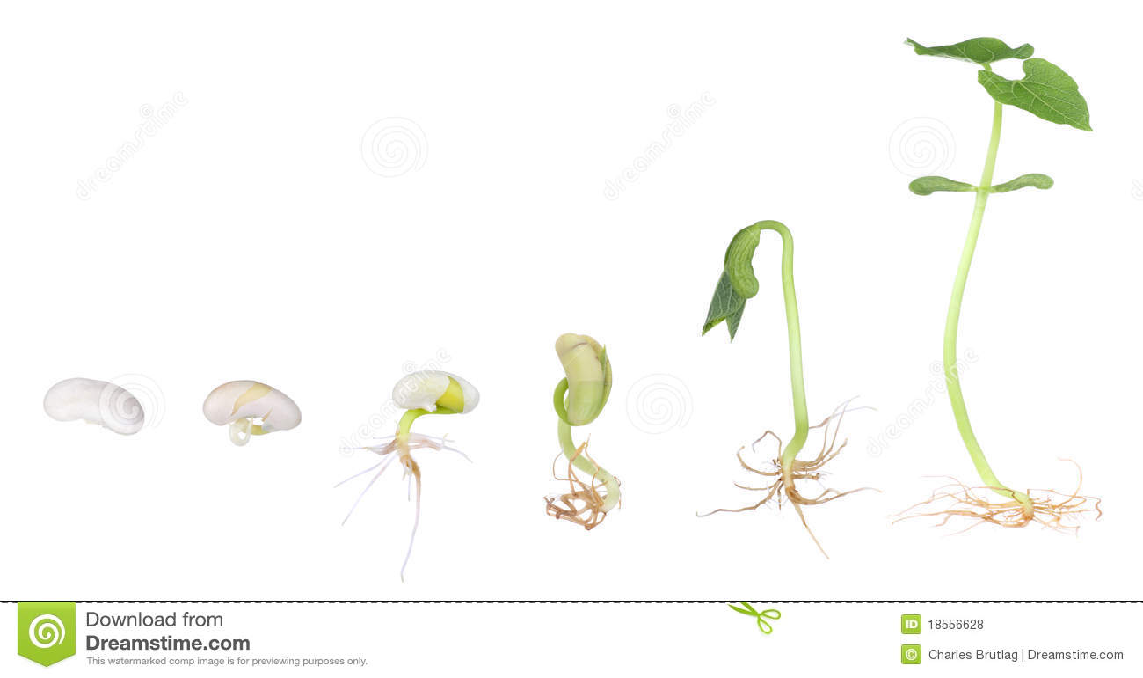 Pianta Di Fagiolo Che Cresce Isolata Fotografia Stock