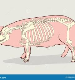 pig skeleton vector illustration pig skeleton diagram stock fetal pig body diagram pig bone diagram [ 1300 x 1072 Pixel ]