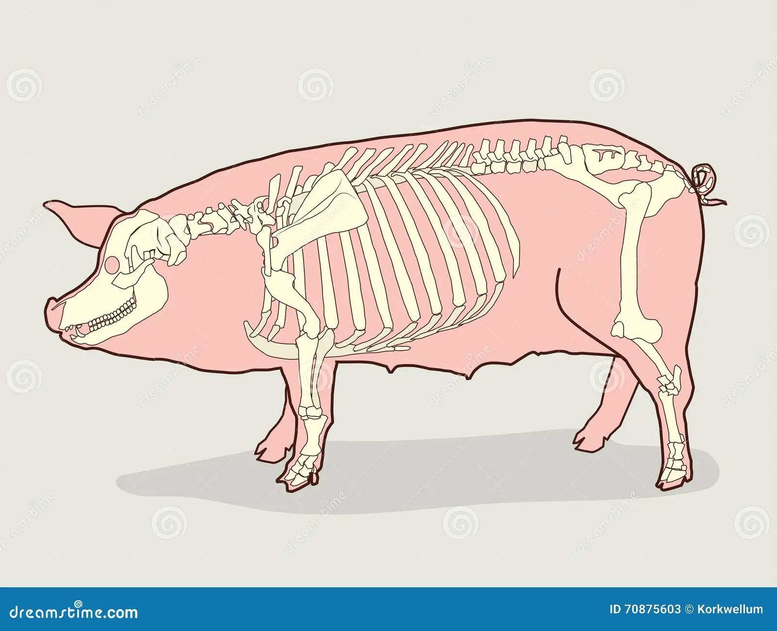 hight resolution of pig skeleton vector illustration pig skeleton diagram