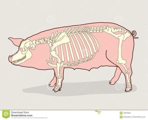 small resolution of pig skeleton vector illustration pig skeleton diagram stock fetal pig body diagram pig bone diagram