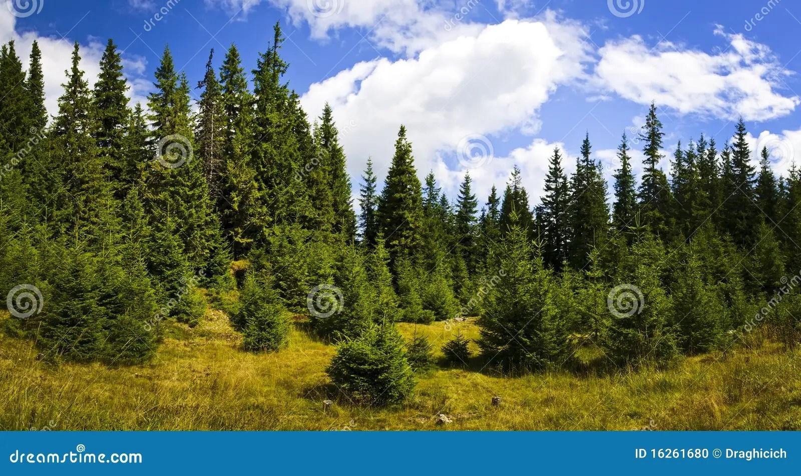 Pine Forest Landscape Stock Photo Image 16261680