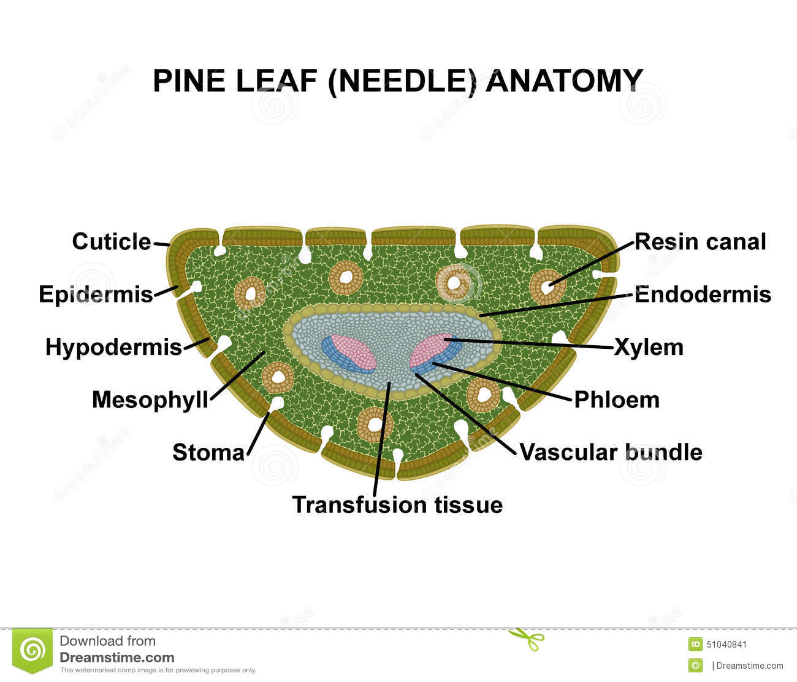leaf epidermis diagram caravan 12n 12s wiring pine needle anatomy stock illustration