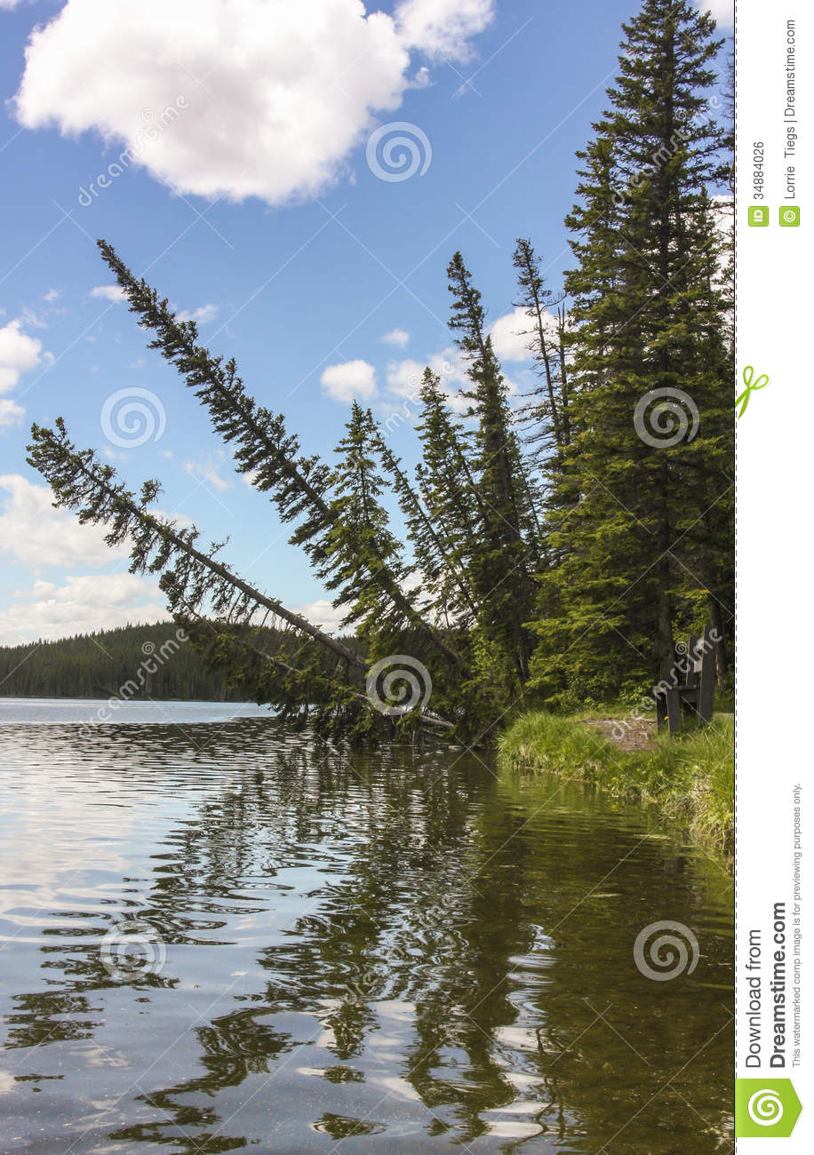 Pine Trees Leaning Over A Lake With Reflections Stock