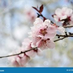 Diagram The Parts Of Cherry Blossom Tree Wiring For Ezgo Golf Cart Pink Sakura Stock Photo Cartoondealer 39342054