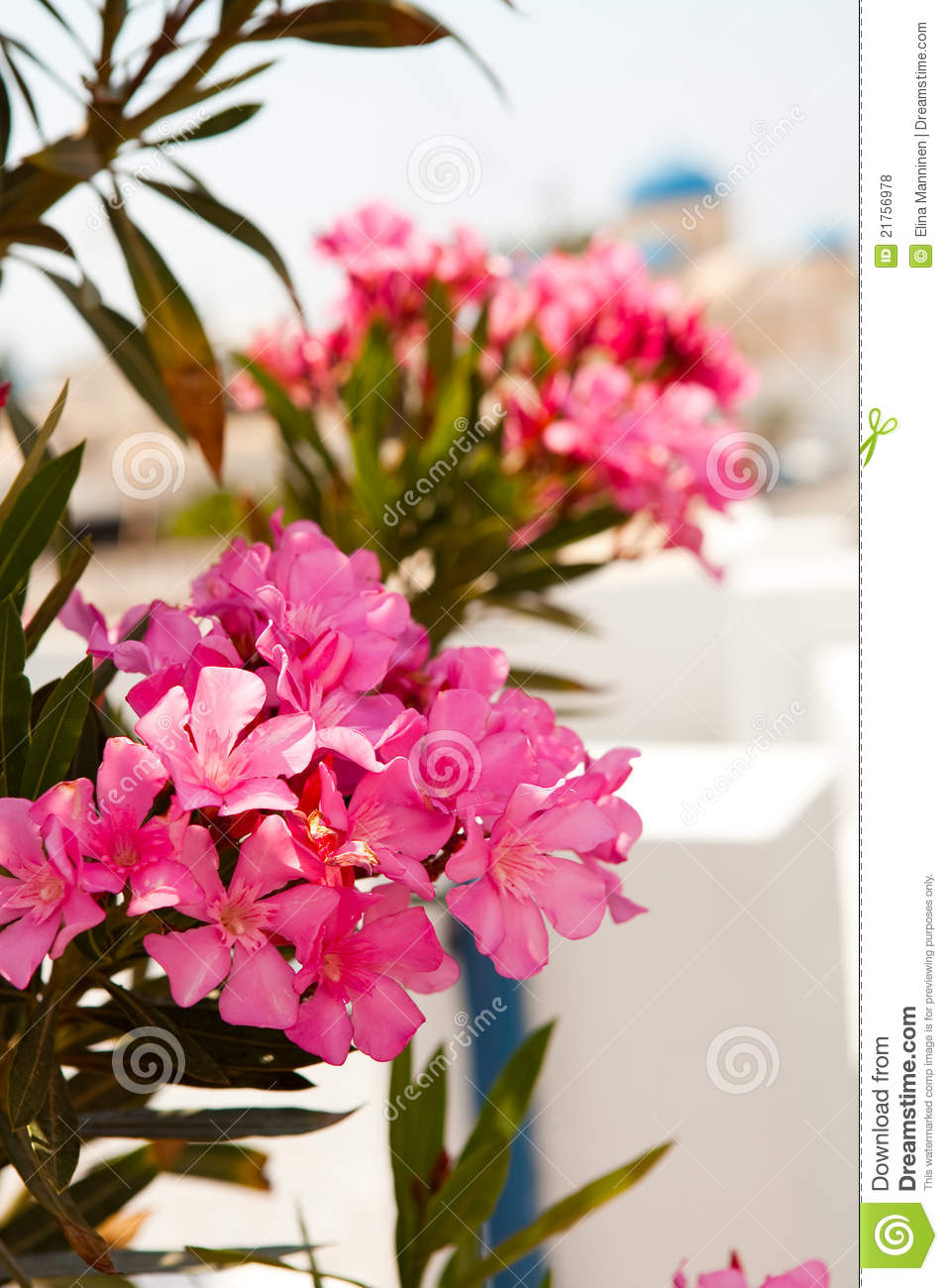 Pink Flowers In Perissa Santorini Greece Stock Photo  Image of church plant 21756978