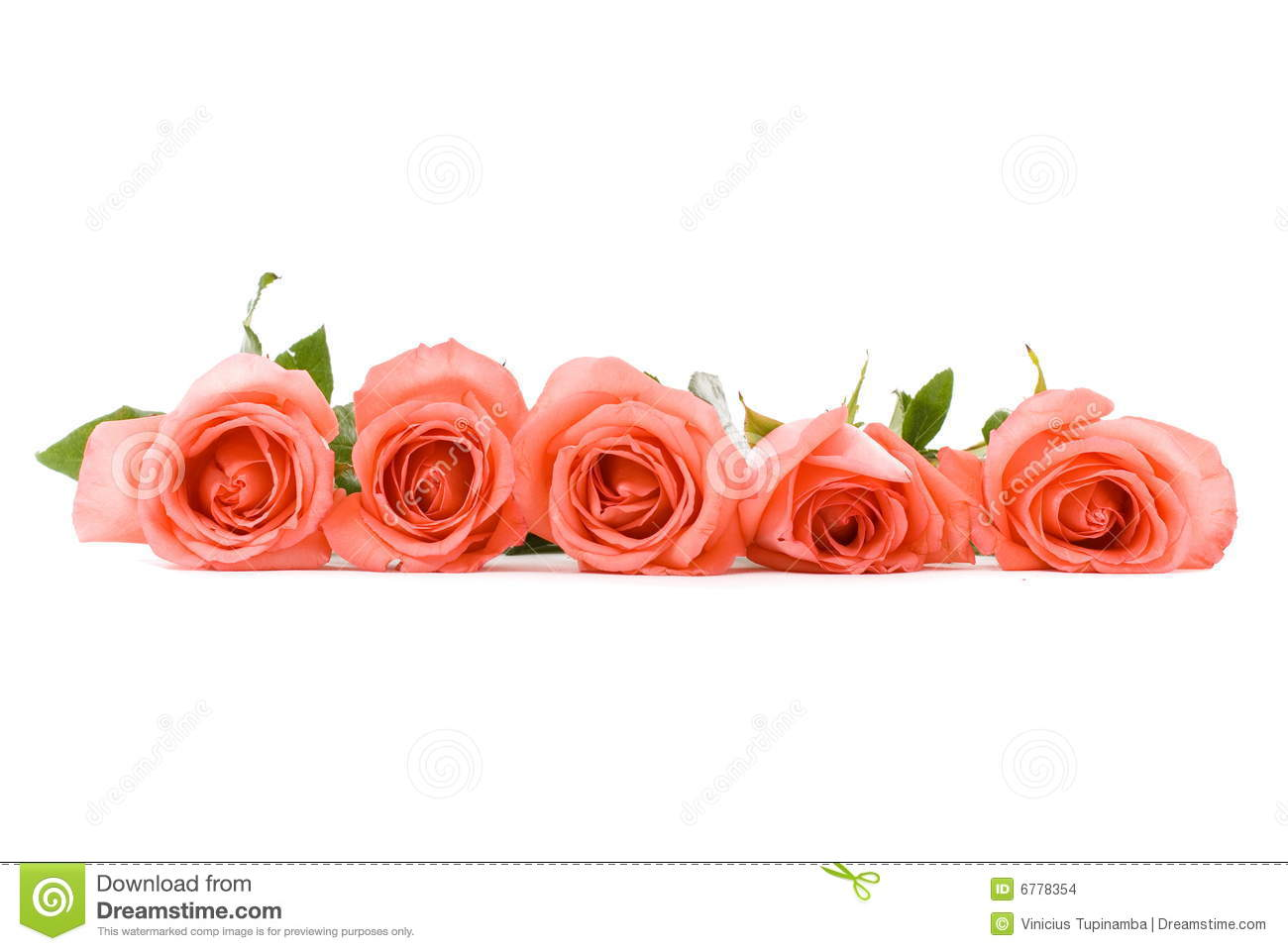 Pink Roses Line Stock Photo Image Of Isolated White
