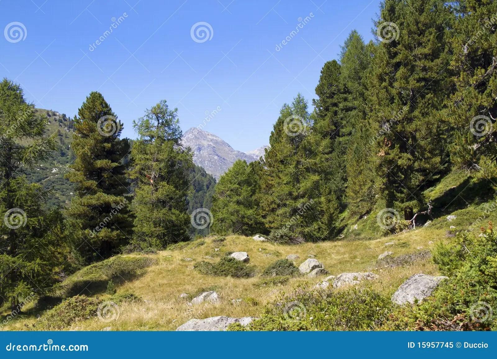 Pino di montagna immagine stock Immagine di piante
